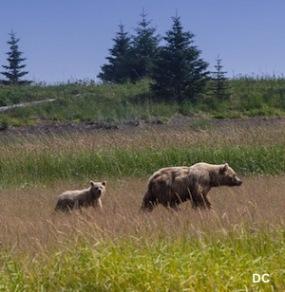 SSCr Bears (300 pixels) 2
