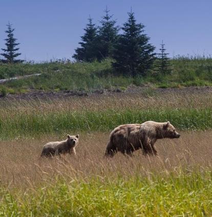 SSCr Bears